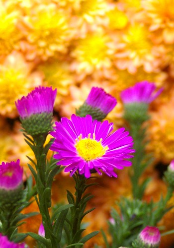 aster against mums
