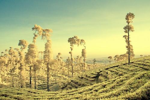 ปลูกชาปลอดสารพิษ Morning at Tea Plantation