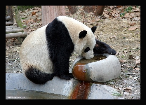 Inspiration for my PROJECT PANDA LOGO and tattoo design taken in Chengdu China