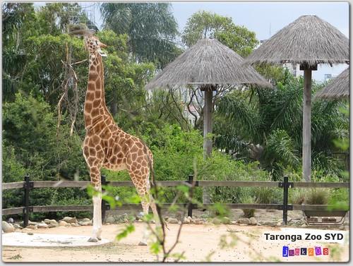 Taronga Zoo - Giraffe