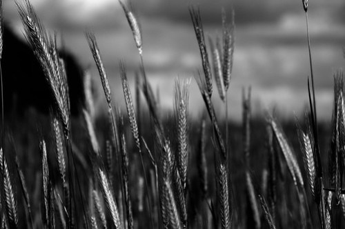 Silver Rye by Per Foreby.