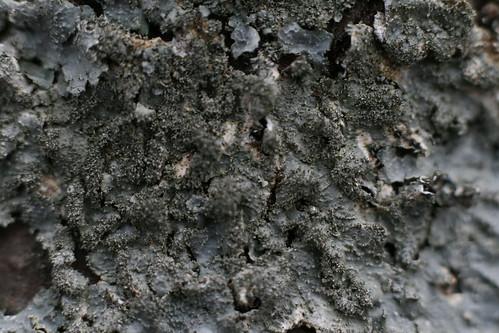 Lichen—texture