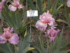 A Beatuiful Iris