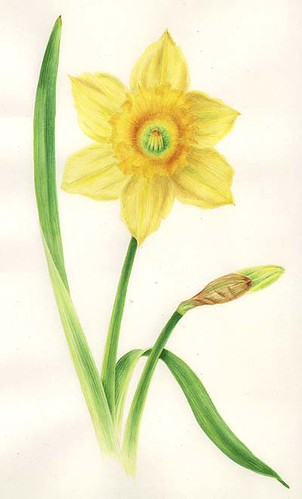 Daffodil by you.