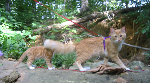20080914 - cats visit our creek - 167-6800 - Lemonjello, Oranjello - outtake - on rock, tail blocking - please click through to leave a comment on FlickR