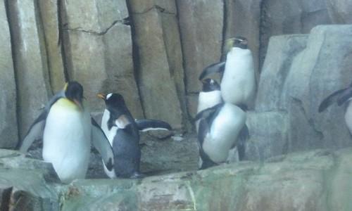 King Penguin / Manchot Royal - Gentoo Penguin / Manchot Papou - Rockhopper Penguin / Gorfou Sauteur