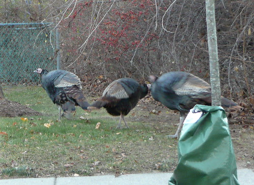 Make way for turkeys
