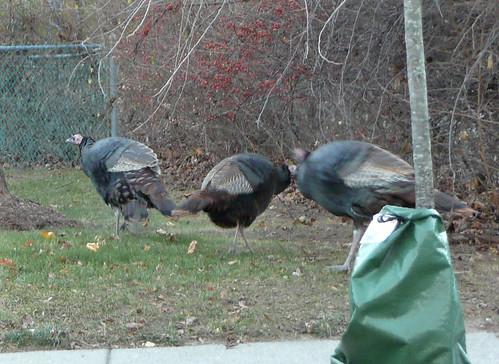 Make way for turkeys
