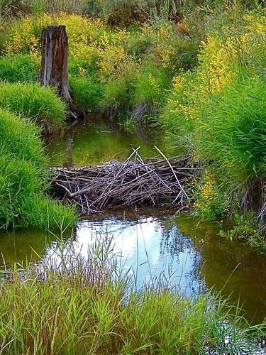 Beaver dam - October 5