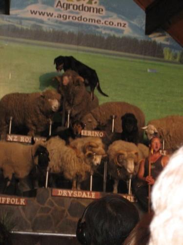 sheep in NZ #5