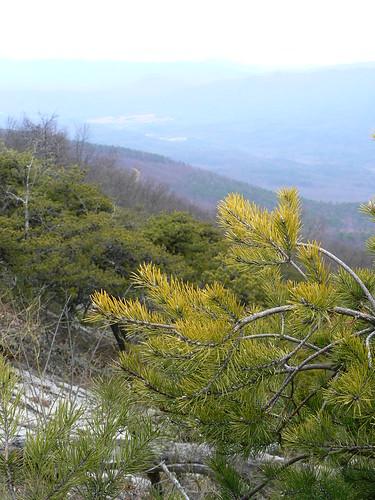 Sinking Creek Mountain - Pine Needles and View