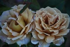 Two Honey Dijon Roses