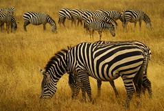 Plains Zebra, Boehm's race