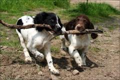 Springer Spaniel Puppies.