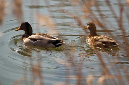 Espiando a los patos