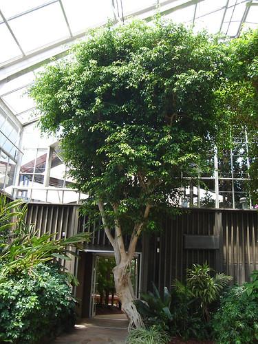World's largest Ficus tree
