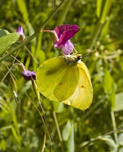 butterfly on wild mallow