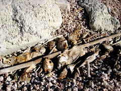 more dead fish