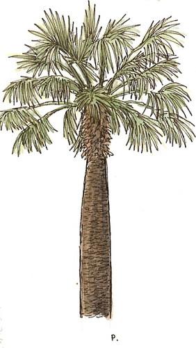 sc18: sacramento palm tree