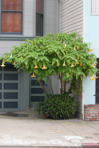Trumpet flower tree