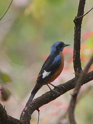 blue-capped rock thrush k gudi campus 170308
