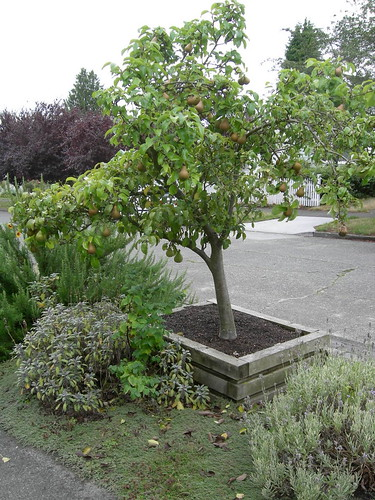 Pear Tree in Planter Box