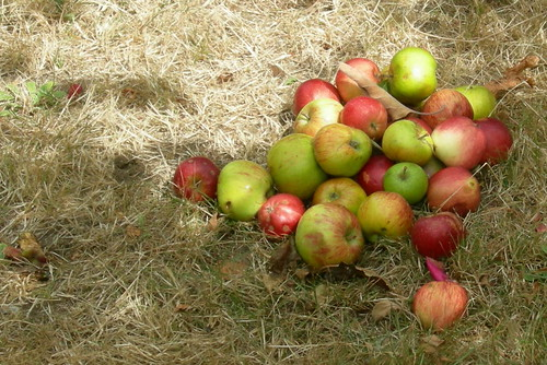 Apple Pile in Parking Strip