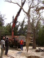 Planting baobabs at Zebrabar