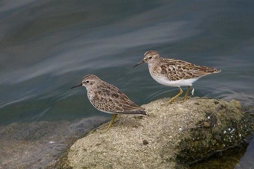 Least Sandpipers by you.
