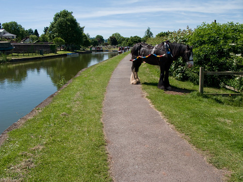 Shire Horse by the Canal