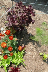 Red Marigolds, Shiso, Bulbing Fennel