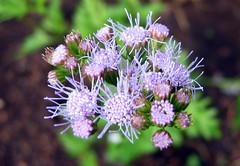 08.10.25-mistflower