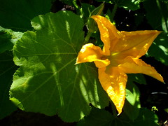 Courgette flower