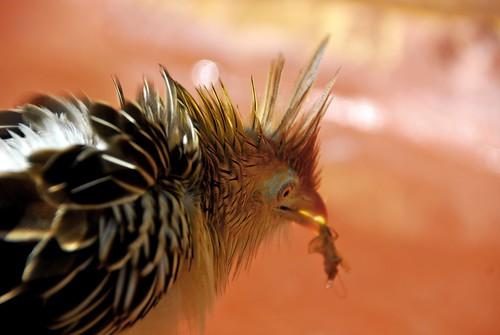 Cuckoo2.jpg