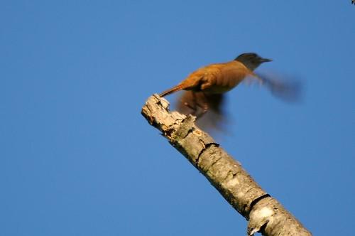 House Wren Flying