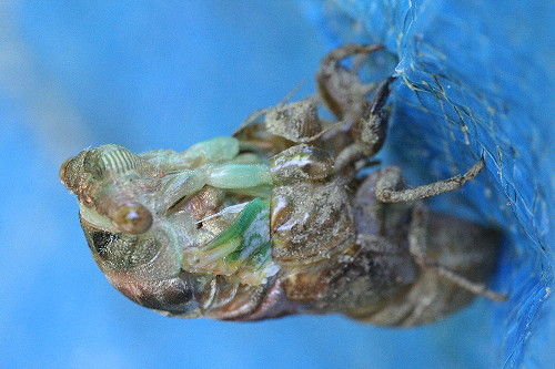 cicada7