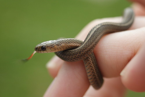 Short-headed Garter