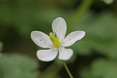 新治市民の森のイチリンソウ(Flower, Niiharu Community Woods, Yokohama, Kanagawa, Japan, 2011)