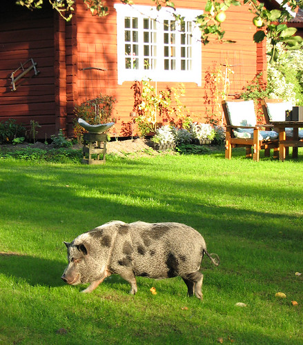 Pet Pig by Arnicas on Flickr
