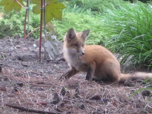 Small Fox, Chinese Garden