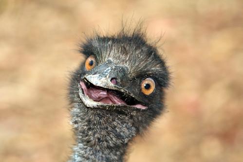 Crazy Emu