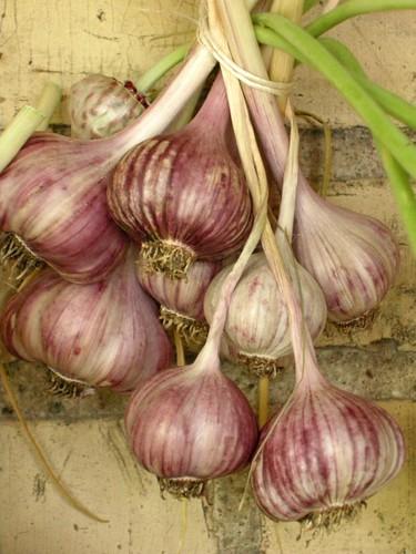 garlic1574
