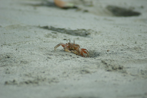 Crab, emerging from it's burrow