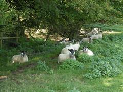 Sheep in shade