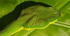 bamboo snake or bamboo pit viper. Venomous. Trimeresurus albolaris.