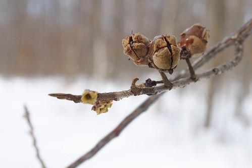 December Seed Pods
