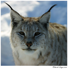 Staring Lynx