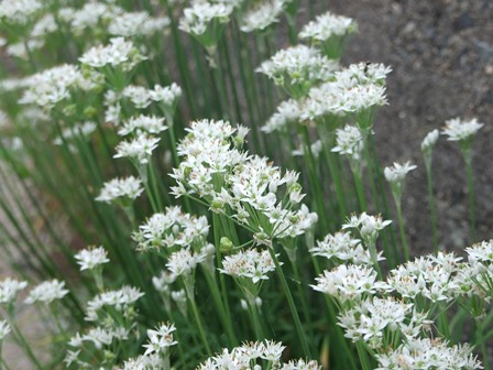 ニラ(韮)の花~笹川流れ