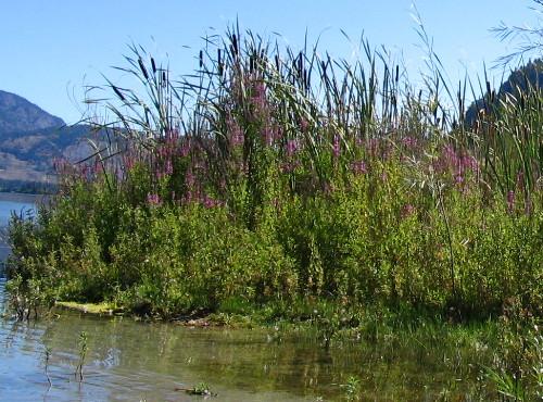 Purple Loosestrife, Lythrum salicaria