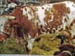 ARGENTINE CRIOLLO CATTLE ~ Bovino Criollo argentino (240 x 138) Original= (2789 x 1604) por turdusprosopis